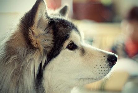 マンゴーは愛犬の目を健康に保ってくれます!
