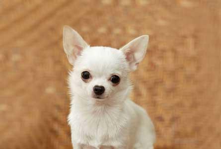 「子犬」のチワワにおすすめの食事回数・食べ方