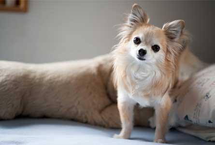 成犬」のチワワにおすすめの食事回数・食べ方